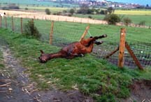 Awkward horse injury - Horse-in-barbed-wire[1]