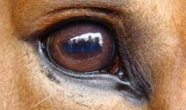 eyeball horse sight