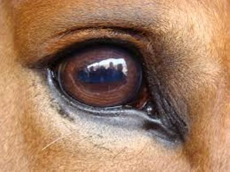 eyeball horse sight
